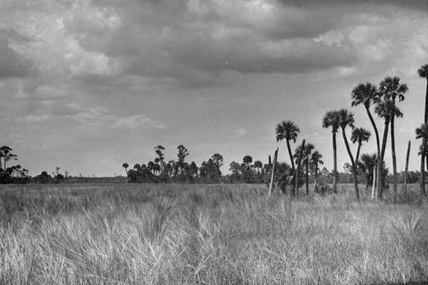 Vintage picture of the Everglades